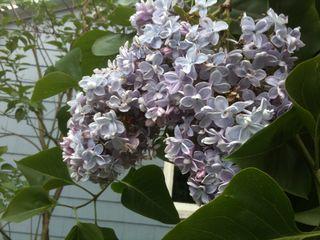 Lilacs 005