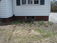 Soon: daffodils...